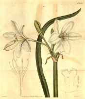 Illustrated are the long narrow leaves, and white flowers.  Curtis's Botanical Magazine t.2133, 1820.
