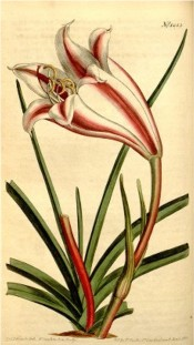 The image depicts a flask-shaped white flower with bright red stripe on each segment.  Curtis's Botanical Magazine t.1253, 1810.