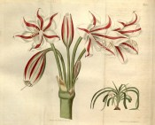 Shown are white trumpet-shaped flowers, each petal with a red central stripe.  Curtis's Botanical Magazine t.2180, 1820.