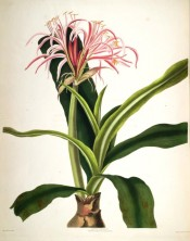 The image shows a robust scape, the flowers with narrow, pinkish, red-striped segments.  Bury pl.30, 1831-34.