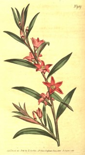 Figured are narrow elliptic leaves and starry pink flowers.  Curtis's Botanical Magazine t.989, 1806.