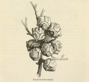 The figure is a lithograph of a shoot with leaves and cones.  Journal of the Horticultural Society of London iv p.295, 1849.