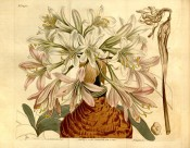 The image shows a large bulb and umbel of white to pink, funnel-shaped flowers.  Curtis's Botanical Magazine t.1443, 1812.