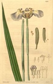 Figured are sword-shaped leaves and lead-coloured, yellow-tinged iris-like flowers.  Curtis's Botanical Magazine t.3710, 1839.