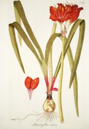 Illustrated is the bulb with strap-like leaves and spike of bright red, funnel-shaped flowers.  Jacquin Sch. pl.62, 1797-04.