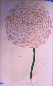 The image shows a very double , formal dahlia with white petals tipped with deep pink.  Floricultural Cabinet p.122, 1836.