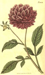 The image shows a dull red, double dahlia with 3-pinnate leaves.  Curtis's Botanical Magazine t.1885, 1827.