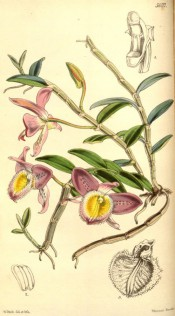 Figured are stems, leaves, pink and yellow fringed flowers and detail of flower parts. Curtis's Botanical Magazine t.5037, 1858.