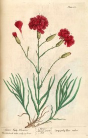 The image shows the full plant with bright red, double flowers, similar to a clove pink.  Blackwell pl.85, 1737.