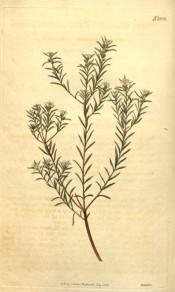 Figured is a twiggy, heath-like plant with small white flowers.  Curtis's Botanical Magazine t.2332, 1822.