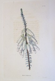 Image shows a heath with long tubular white flowers flushed with pink.  Loddiges Botanical Cabinet no.842, 1824.