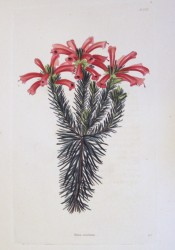 The image shows a heath with terminal clusters of bright red, tubular flowers.   Loddiges Botanical Cabinet no.1375, 1829.