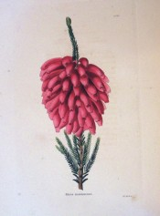 The image shows a heath with an almost terminal cluster of tubular bright red flowers.  Loddiges Botanical Cabinet no.125, 1817.