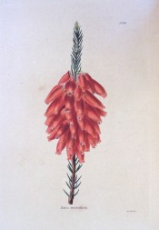 The image shows a heath with almost terminal spikes of rosy-red flowers.  Loddiges Botanical Cabinet no.145, 1817.