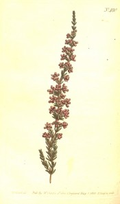 The image shows a spindly heath with terminal racemes of pale red flowers.  Curtis's Botanical Magazine t.480, 1800.