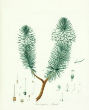 The image shows a woody heath with white flowers clustered near the tip of the shoots.  Wendland fasc.1, 1804.