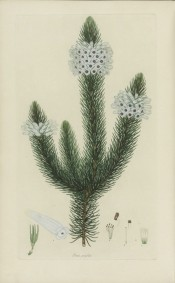 The image depicts a heath with small leaves and white flowers.  Andrews, Heaths, v.III p.199, 1809.