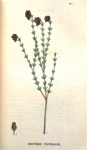 The image shows a spindly heath with terminal clusters of dark red flowers.  Saint-Hilaire, Traite des Arbrisseaux pl.29, 1825.