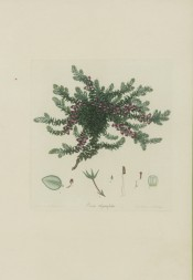 The image shows a bushy heath with axillary, rose coloured flowers.  Andrews, Heaths, v.2, p.136, 1805.