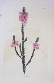 The image shows a heath with bright pink short-tubular flowers.  Loddiges Botanical Cabinet no.726, 1823.