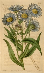 Figured is a flowering stem with blue daisy flowers, yellow in the centre.  Curtis's Botanical Magazine t.3606, 1837.