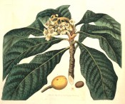 Figured are large lance-shaped leaves, small white flowers and large, plum-like yellow fruit.  Botanical Register f.365, 1819.