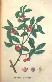 Illustrated are the dark green leaves and 4-lobed, clustered red fruit.  Saint-Hilaire Tr. pl.76, 1825.