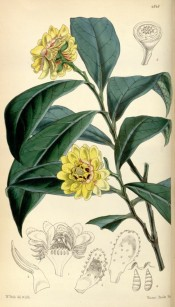 Illustrated are the glossy lance-shaped leaves and double yellow flowers.  Curtis's Botanical Cabinet t.4848, 1855.