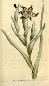 Shown are stem-clasping leaves and upward-facing, yellowish-brown, spotted flowers.  Curtis's Botanical Magazine t.144, 1791.