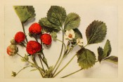 Figured is a strawberry with 3-lobed, toothed leaves, white flowers and roundish red fruits. Burbank p.89, 1914.