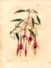 Depicted is a spindly shoot with elongated, flowers, sepals scarlet, corolla purple.  Loddiges' Botanical Cabinet no.934, 1824.