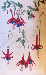 Several fuchsia flowers are figured, with scarlet tube and sepals and bluish-purple corolla.  Floricultural Cabinet p.172, 1835.