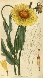 Shown are lance-shaped leaves and yellow daisy-like flowers with orange red discs.  Curtis's Botanical Magazine t.2940, 1829.