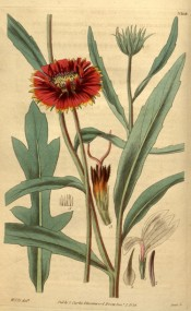 Figured are leaves and red, yellow-tipped daisy flowers.  Curtis's Botanical Magazine t.3368/1834.
