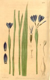 Shown are lance-shaped leaves and terminal cluster of cup-shaped, bright blue flowers. Curtis's Botanical Magazine t.3779, 1840.