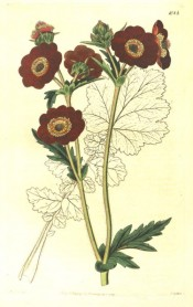 Depicted is a shoot with a number of bright red, single flowers.  Botanical Register f.1088, 1827.