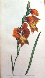 Shown are a linear leaf and hooded, funnel-shaped, orange flowers, splotched yellow.  Curtis's Botanical Magazine t.586, 1802.