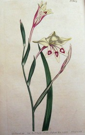 Figured is a lance-shaped leaf and long-tubed white flowers with red markings.  Curtis's Botanical Magazine t.602, 1802.