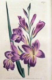 Figured are lance-shaped leaf and large purplish flowers with red and yellow markings.  Curtis's Botanical Magazine t.874, 1805.