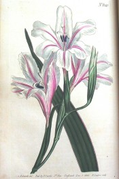 Figured are lance-shaped leaves and funnel-shaped, white, red striped flowers.  Curtis's Botanical Magazine t.610, 1802.