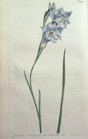 The figure shows a lax flower stem with funnel-shaped blue flowers.  Curtis's botanical Magazine t.562, 1802.