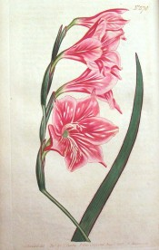 Figured are lance-shaped leaves and deep pink funnel-shaped flowers.  Curtis's Botanical Magazine t.574, 1802.