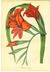 Figured are lance-shaped leaves and orange-red funnel-shaped flowers.  Paxton's Magazine of Botany p.223, 1840.