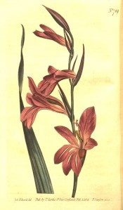 Shown are leaf and funnel-shaped, purplish-pink flowers with paler marks on the lips.  Curtis's Botanical Magazine t.719, 1804.