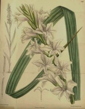 Figured is sword-shaped leaf and a tall spike of funnel-shaped off white flowers.  Curtis's Botanical Magazine t.7292, 1893.