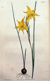 Shown are the wiry leaves and funnel-shaped yellow flowers.  Curtis's Botanical Magazine t.1483, 1812.