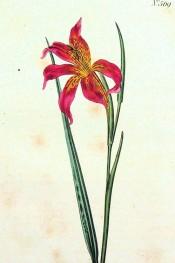 Figured is a leaf and bright red, funnel-shaped flower with yellow markings inside.  Curtis's Botanical Magazine t.569, 1802.