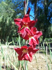 Figured is a gladiolus with red flowers with white streaks on the lower tepals.  Camden Park.