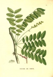 Illustrated are the pinnate leaves, flowers and long, sharp thorns.  Saint-Hilaire Arb. pl.30, 1824.