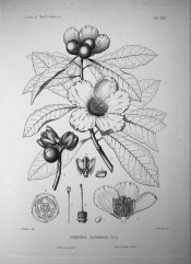 The line drawing shows toothed, oblong leaves, cup-shaped flowers and flower detail.  Silva of North America pl.LXXII, 1891.